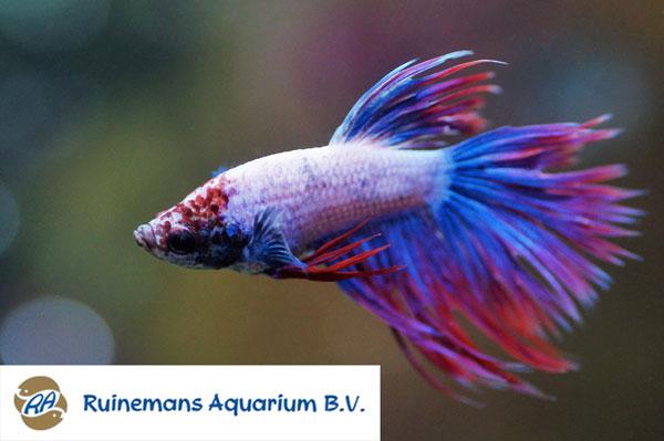 Afbeelding betta (vis)